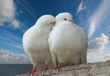 Игра 7. Голуби и голубки